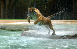 Tiger Jump In River Water