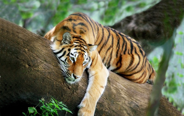 Tiger On A Tree (click to view)