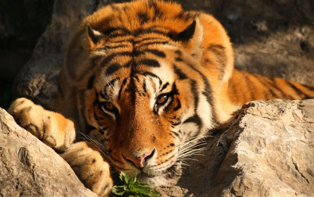 Tiger on Rocks (click to view)
