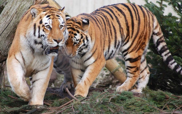 Tiger Pair (click to view)