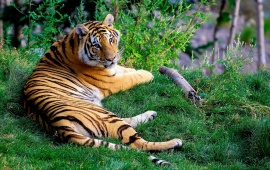 Tiger Resting On Green Grass