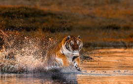 Tiger River Running