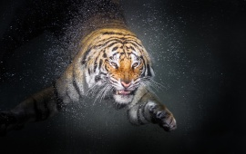 Tiger Water Drop