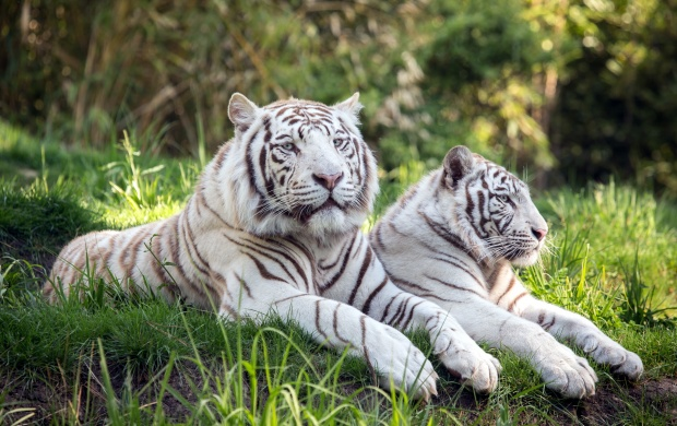 Tigers Couple (click to view)
