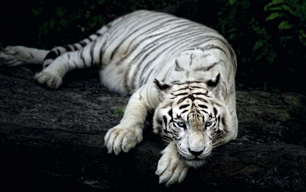 Tired Tiger (click to view)