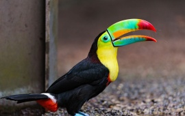 Toucan On The Ground
