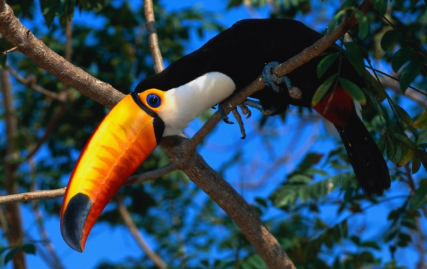 Toucan On Tree Branch (click to view)
