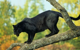 Tree Black Panther