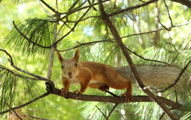 Tree Squirrel (click to view)