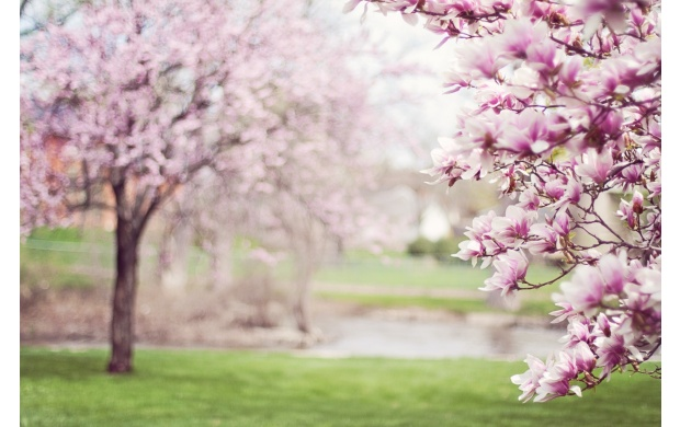 Trees With Pink Flowers (click to view)