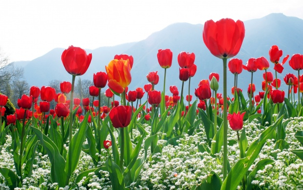 Tulip Plantation (click to view)