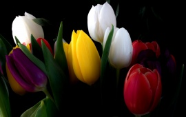 Tulips Flowers Bouquet With Black Background