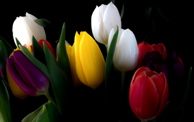 Tulips Flowers Bouquet With Black Background (click to view)
