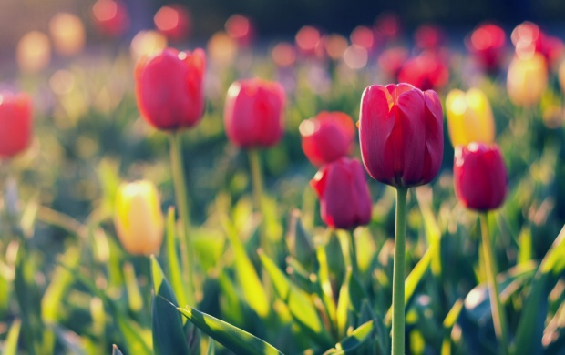 Tulips Flowers Field (click to view)
