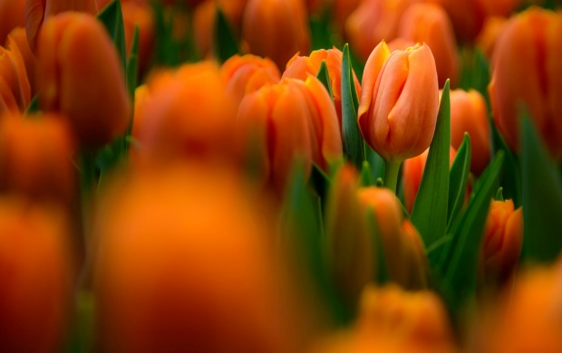 Tulips Flowers Gardens (click to view)