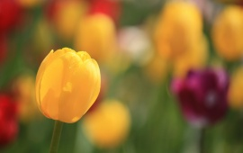 Tulips Spring Flowers Focus
