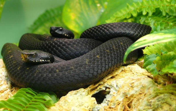 Two Black Mamba Snake (click to view)