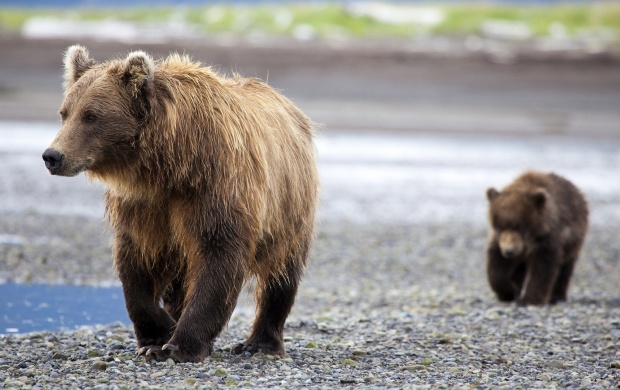 Two Brown Bears (click to view)
