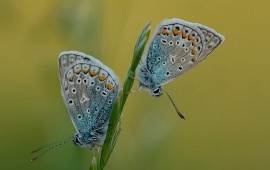 Two Butterflies Sitting On A Grass