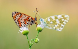 Two Butterfly Romance