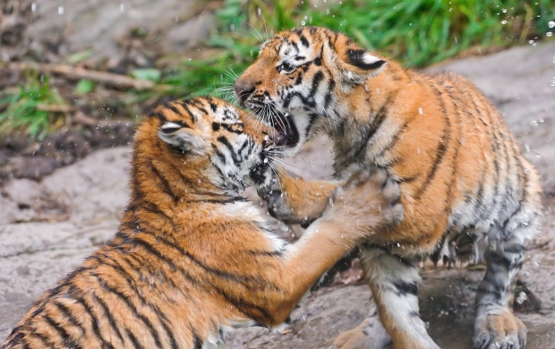 Two Cubs Fighting (click to view)