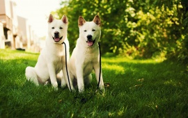 Two Dog On Grass