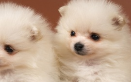 Two Fluffy Puppies