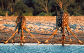 Two Giraffe Drinking Water