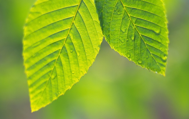 Two Green Leaves (click to view)