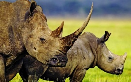 Two Horned Rhino