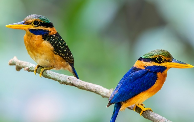 Two Kingfisher Bird (click to view)