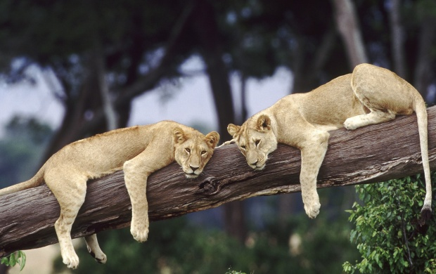 Two Lions On A Tree (click to view)