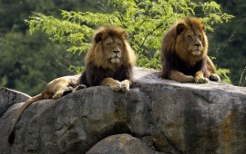 Two Lions Sitting At Rocks