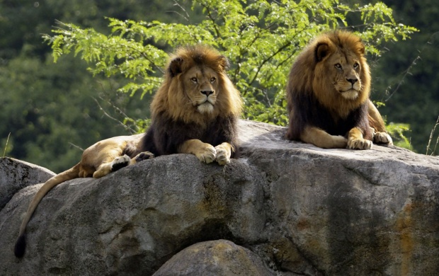 Two Lions Sitting At Rocks (click to view)
