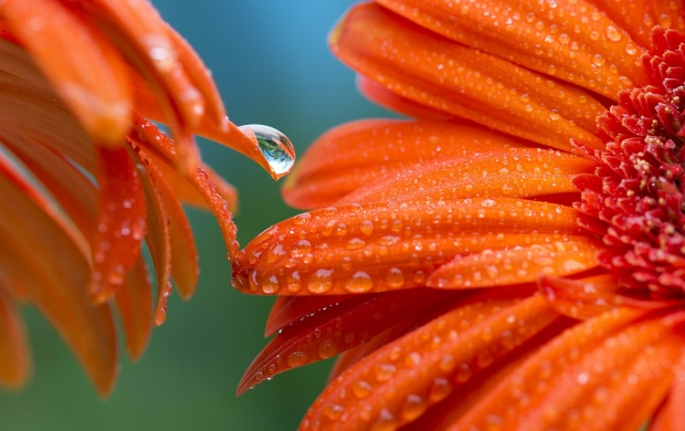 Two Orange Gerbera Flower Drops (click to view)