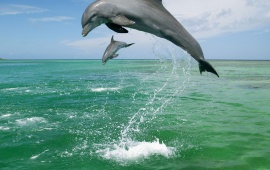 Two Playing And Jumping Dolphins