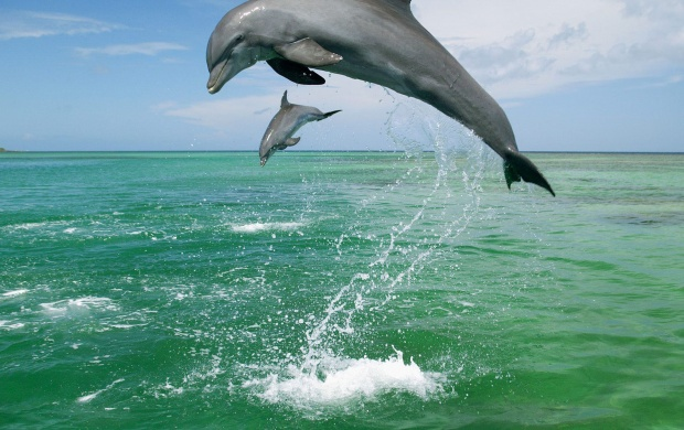 Two Playing And Jumping Dolphins (click to view)