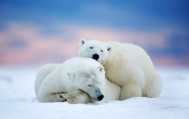 Two Polar Bears Sleeping In Arctic