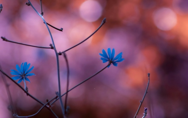 Two Small Blue Flowers Closeup (click to view)