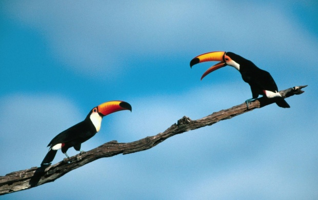 Two Toucans Talking (click to view)