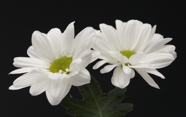 Two White Flowers (click to view)
