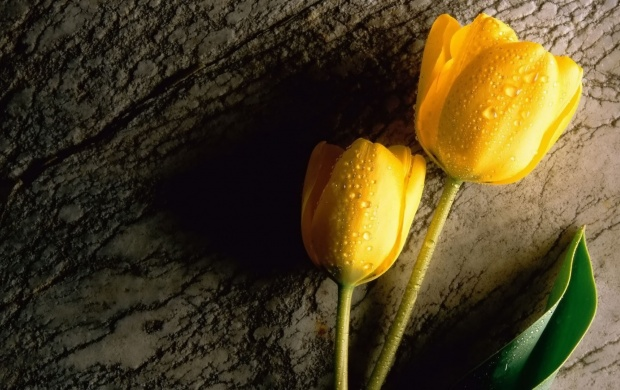 Two Yellow Tulips (click to view)