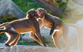 Two Young Geladas Baboons Playing