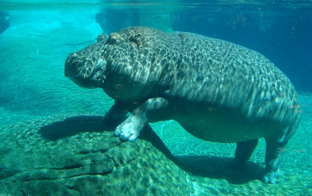 Underwater Hippo (click to view)