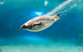 Underwater Swimming Penguin