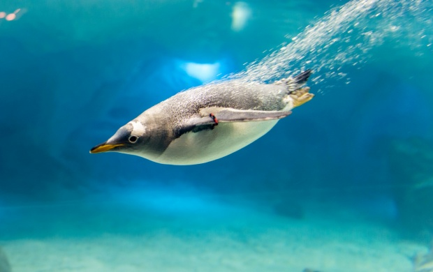 Underwater Swimming Penguin (click to view)