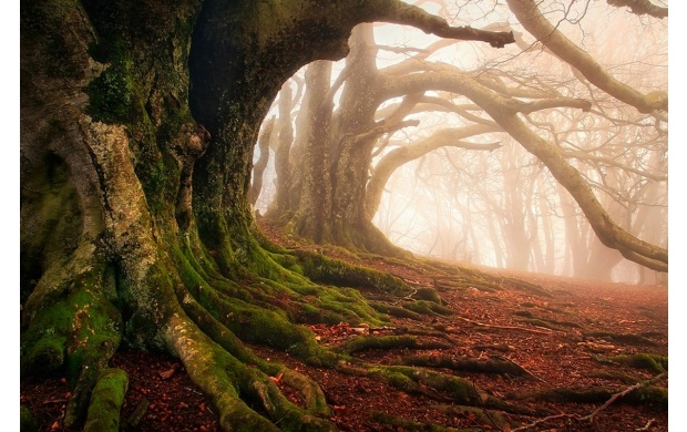 Very Old Forest Tree (click to view)
