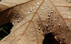 Water Drops on Autumn Leaf