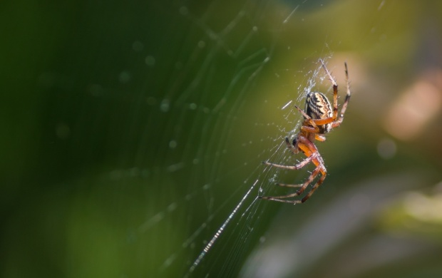 Web Spider (click to view)