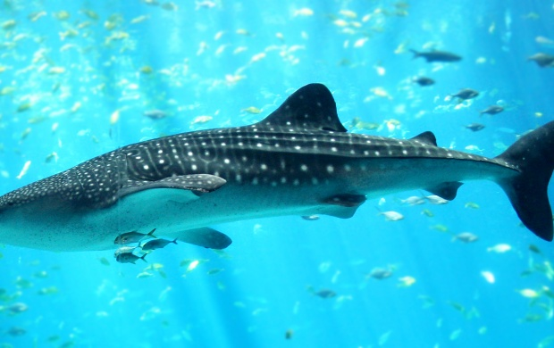 Whale Shark (click to view)